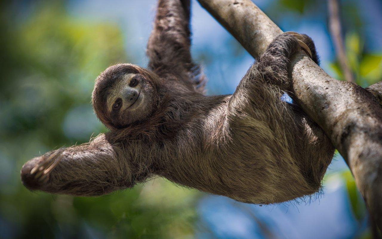 Hanging sloth, Costa Rica